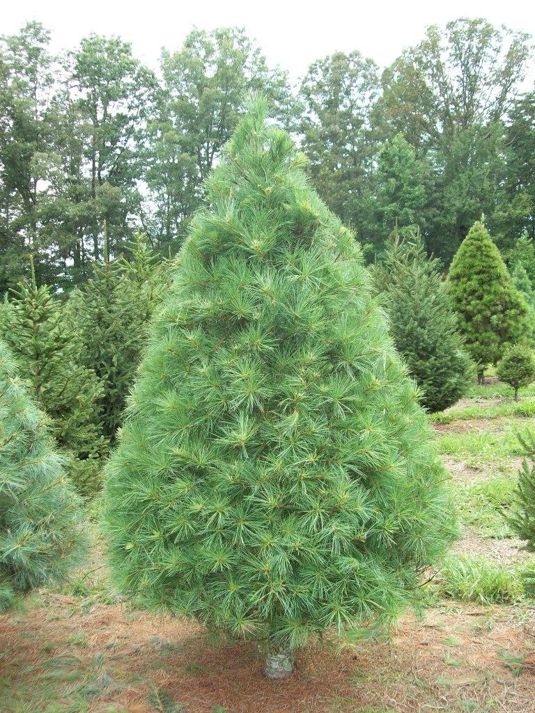 Trees | Bluebird Christmas Tree Farm